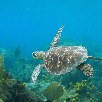 Saint Lucia diving sea turtle